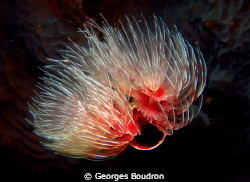 tubeworm by Georges Boudron 